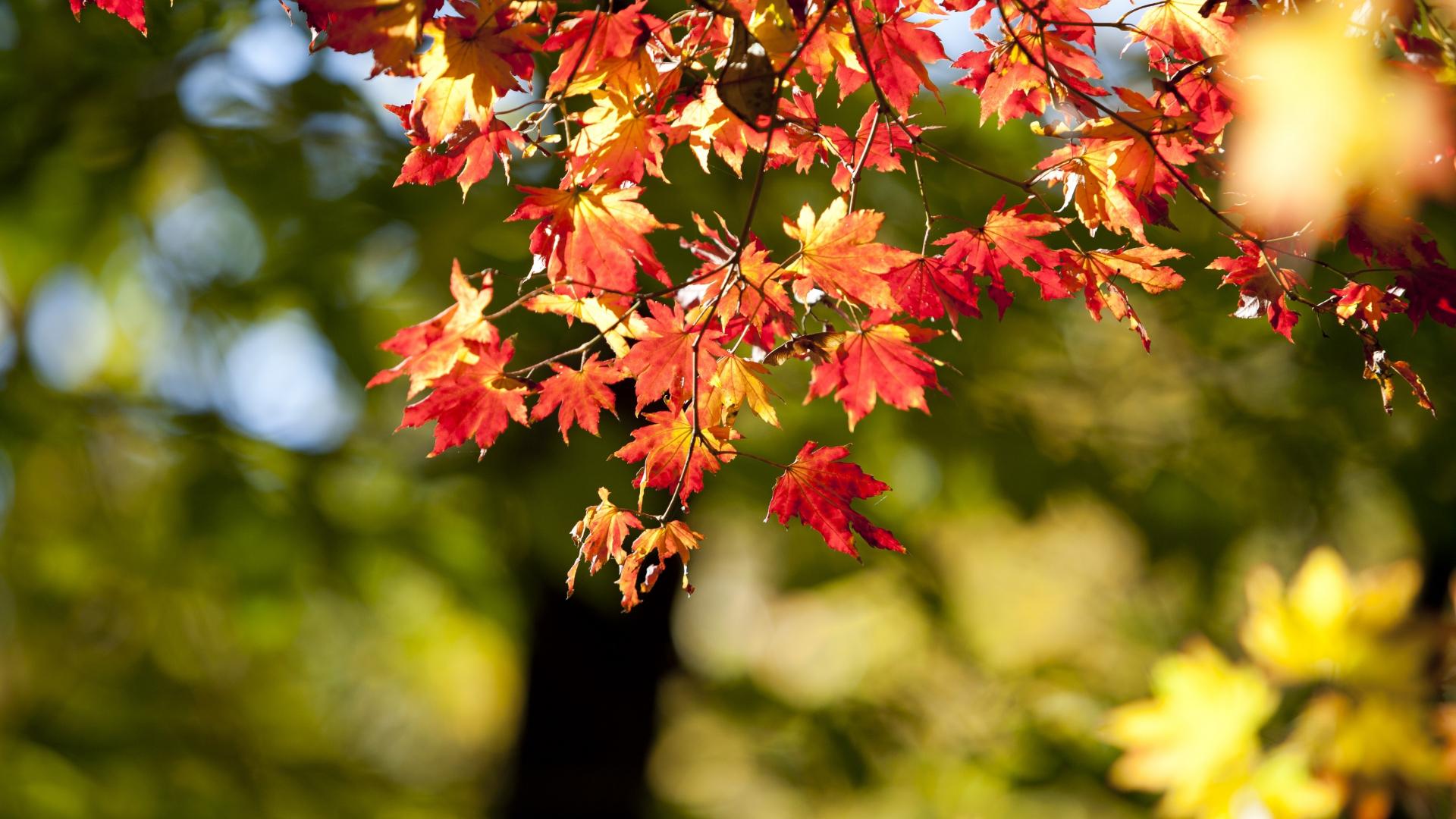 Download 1920x1080 Wallpaper Autumn Nature Leaves Bokeh