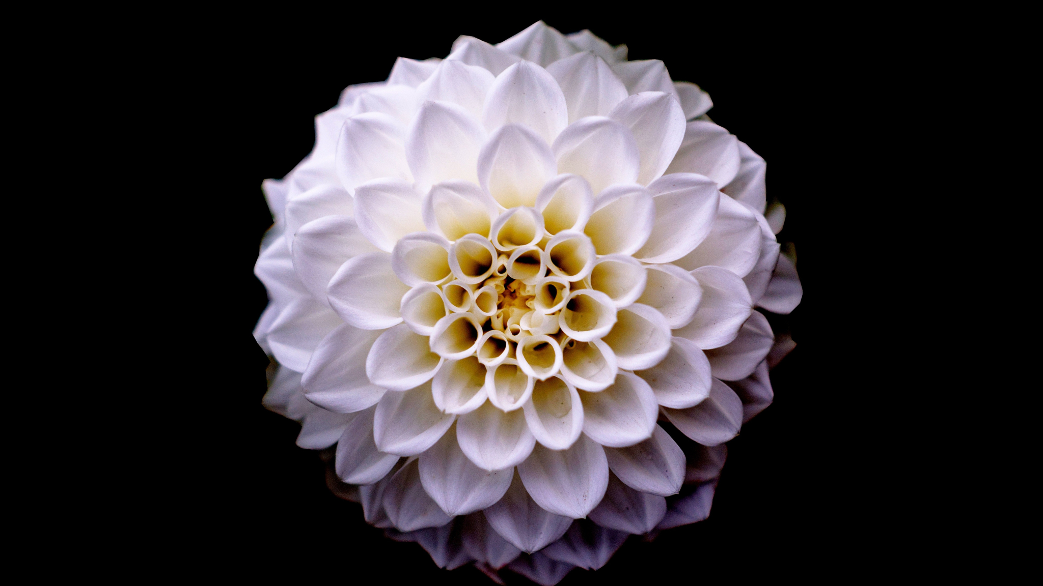 Dahlia, flower, portrait, 2048x1152 wallpaper