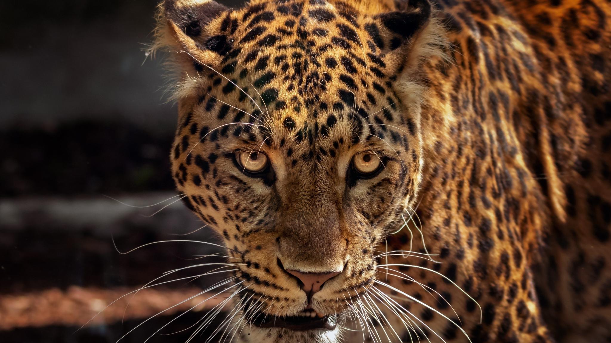 Jaguar Predator Black Animal Muzzle Art Wallpaper