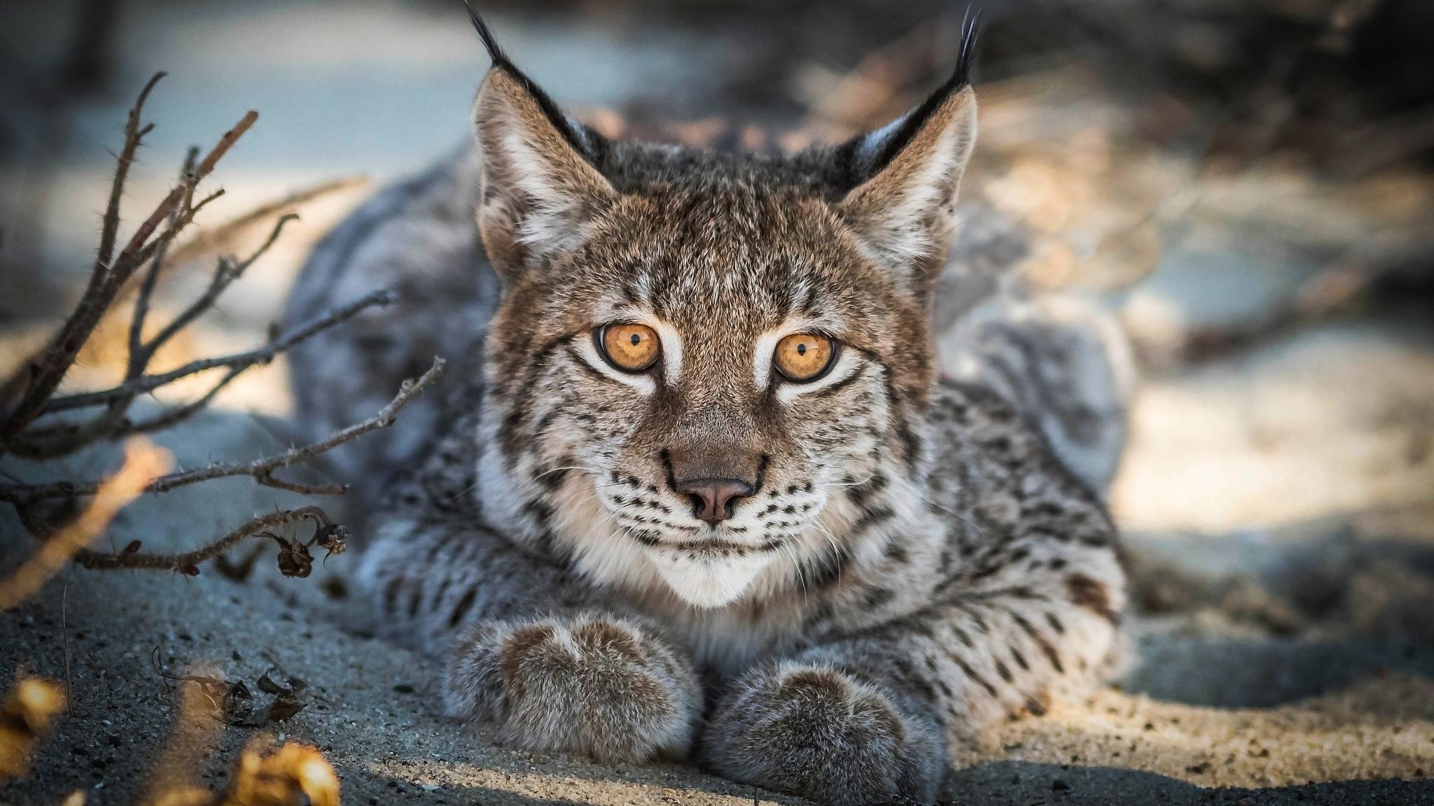 Close up, Lynx, cat, predator, muzzle, 2048x1152 wallpaper