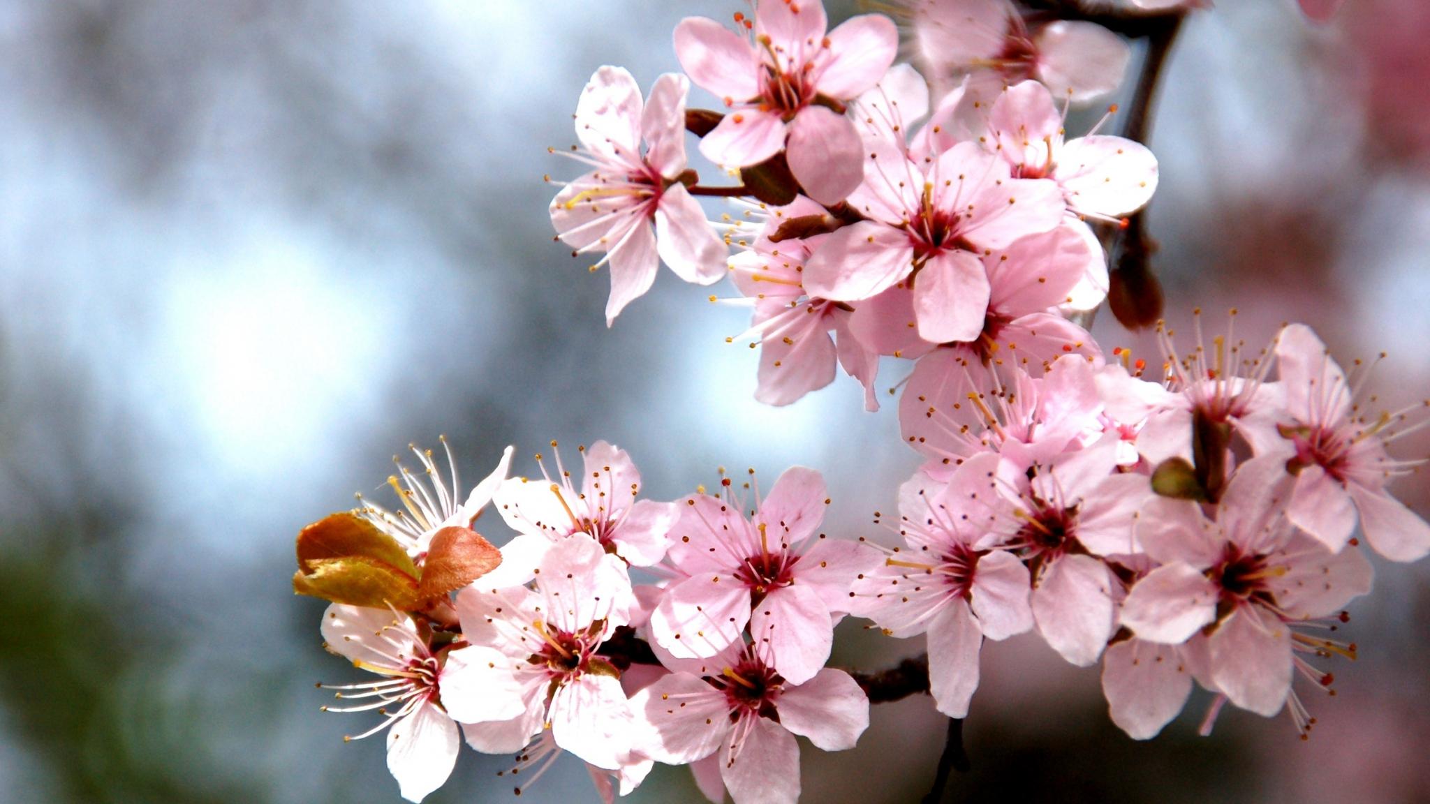 Cherry Blossom HD Wallpapers Desktop