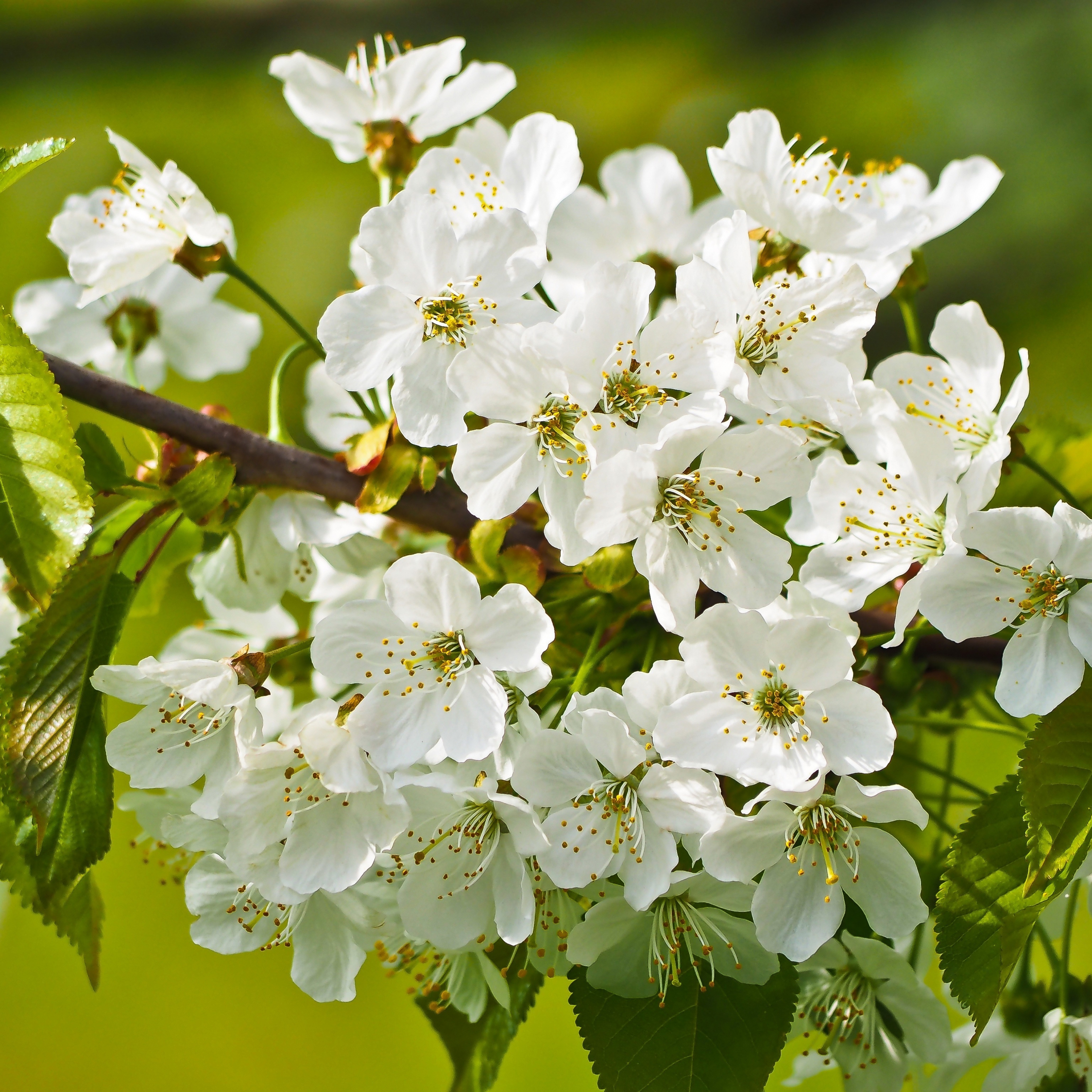 Download 2248x2248 Wallpaper Tree Branches Blossom White Flowers