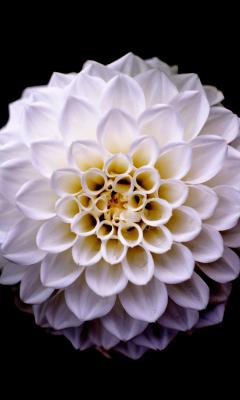 Dahlia, flower, portrait, 240x400 wallpaper