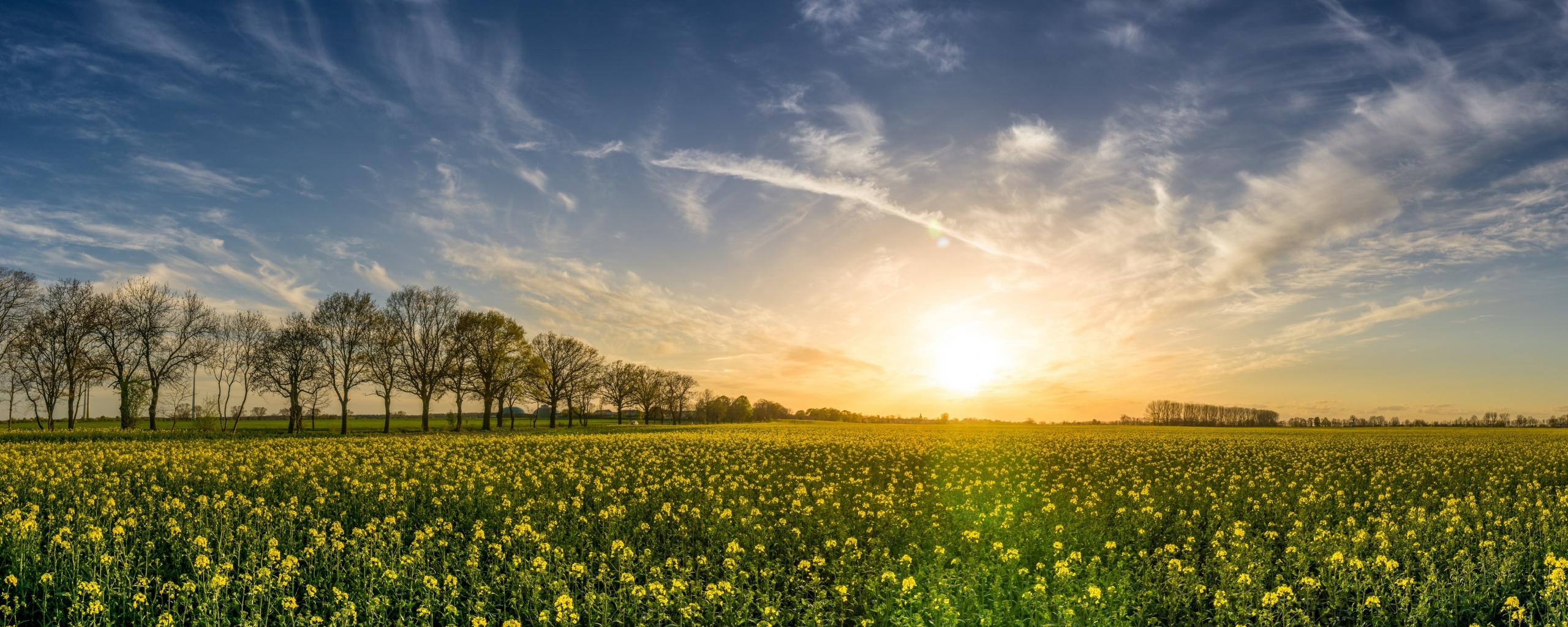 Oilseed rape, farm, sunny day, sky, 5k, 2560x1024 wallpaper