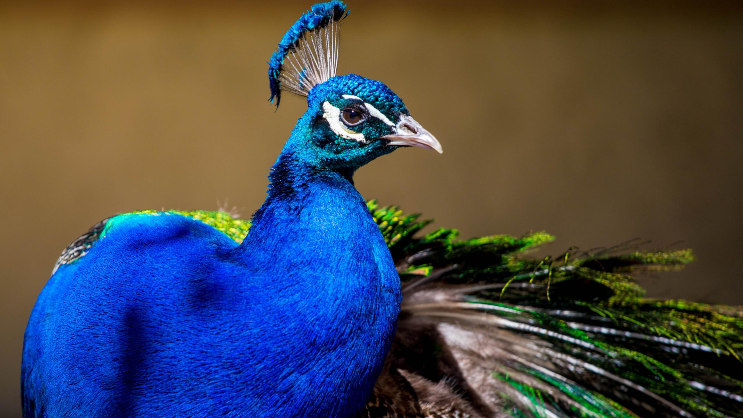 Peacock, colorful bird, plumage, 2560x1440 wallpaper