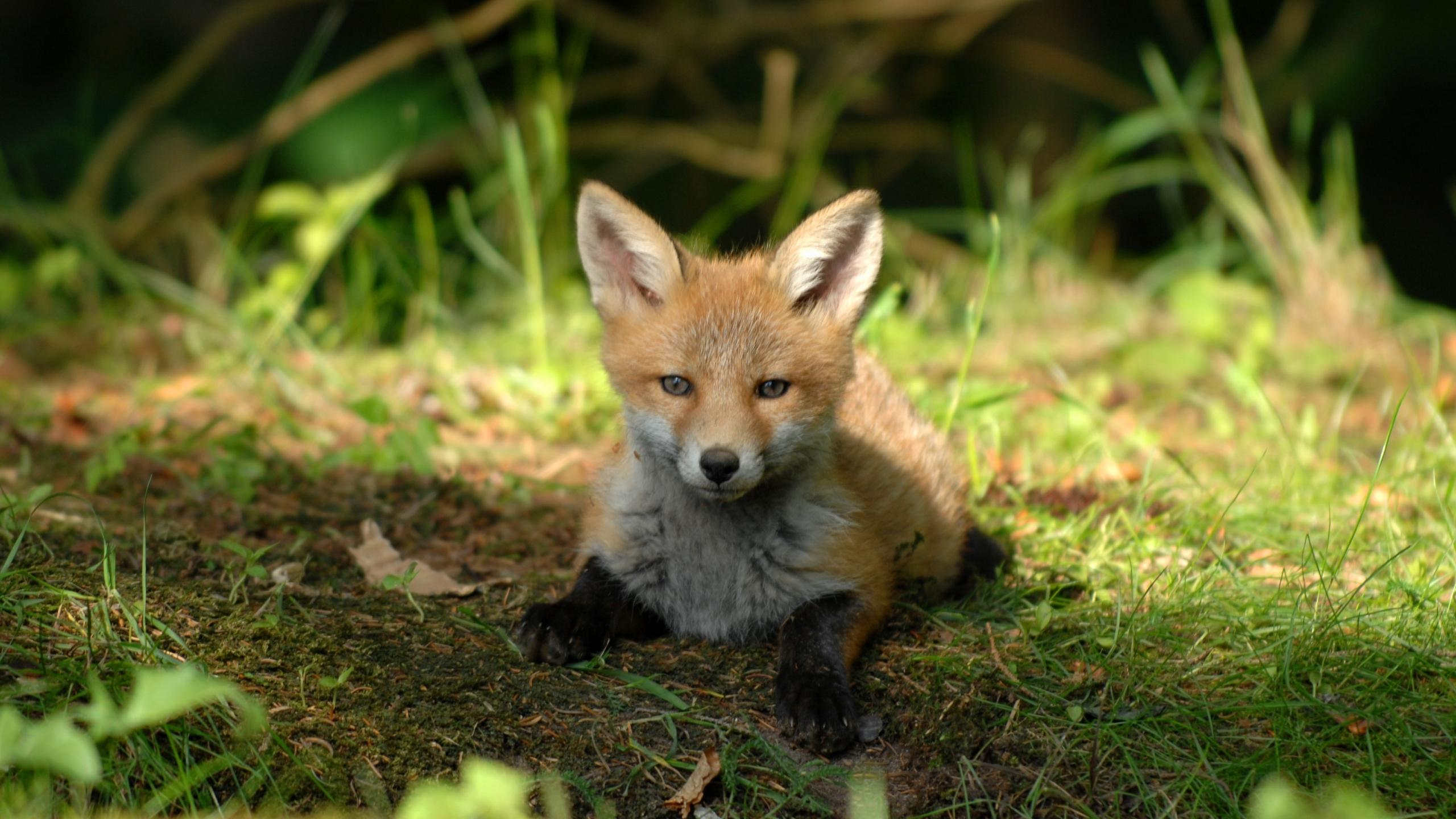 Download 2560x1440 wallpaper cute, baby fox, animal, dual ...