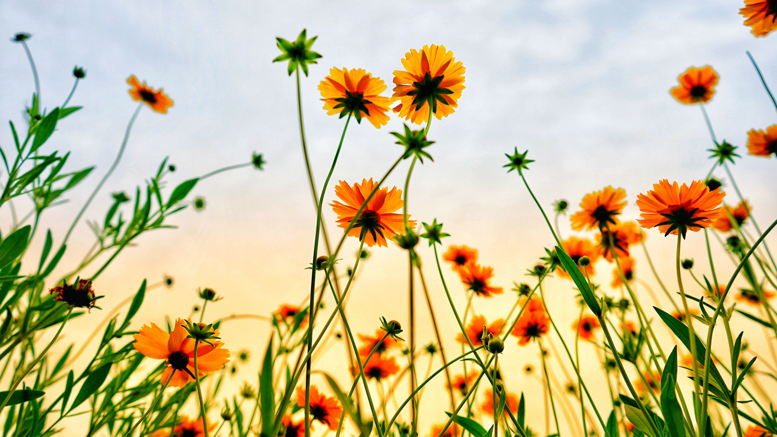 Download 2560x1440 wallpaper cosmos field, flowers, summer ...