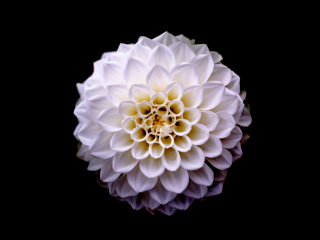 Dahlia, flower, portrait, 320x240 wallpaper
