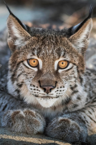 Close up, Lynx, cat, predator, muzzle, 320x480 wallpaper