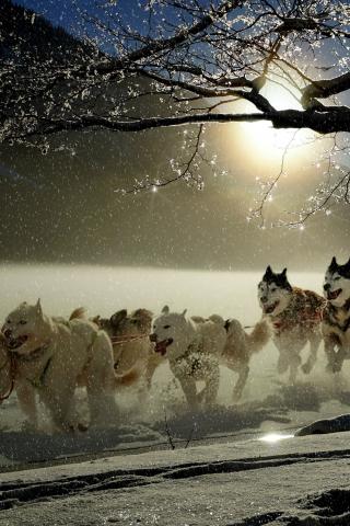 Dogs, run, winter, outdoor, 320x480 wallpaper