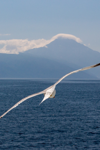 White bird, flight, sea, seagull, 320x480 wallpaper