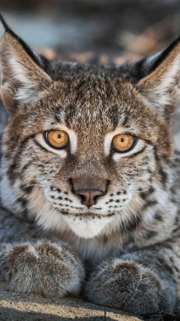 Close up, Lynx, cat, predator, muzzle, 360x640 wallpaper
