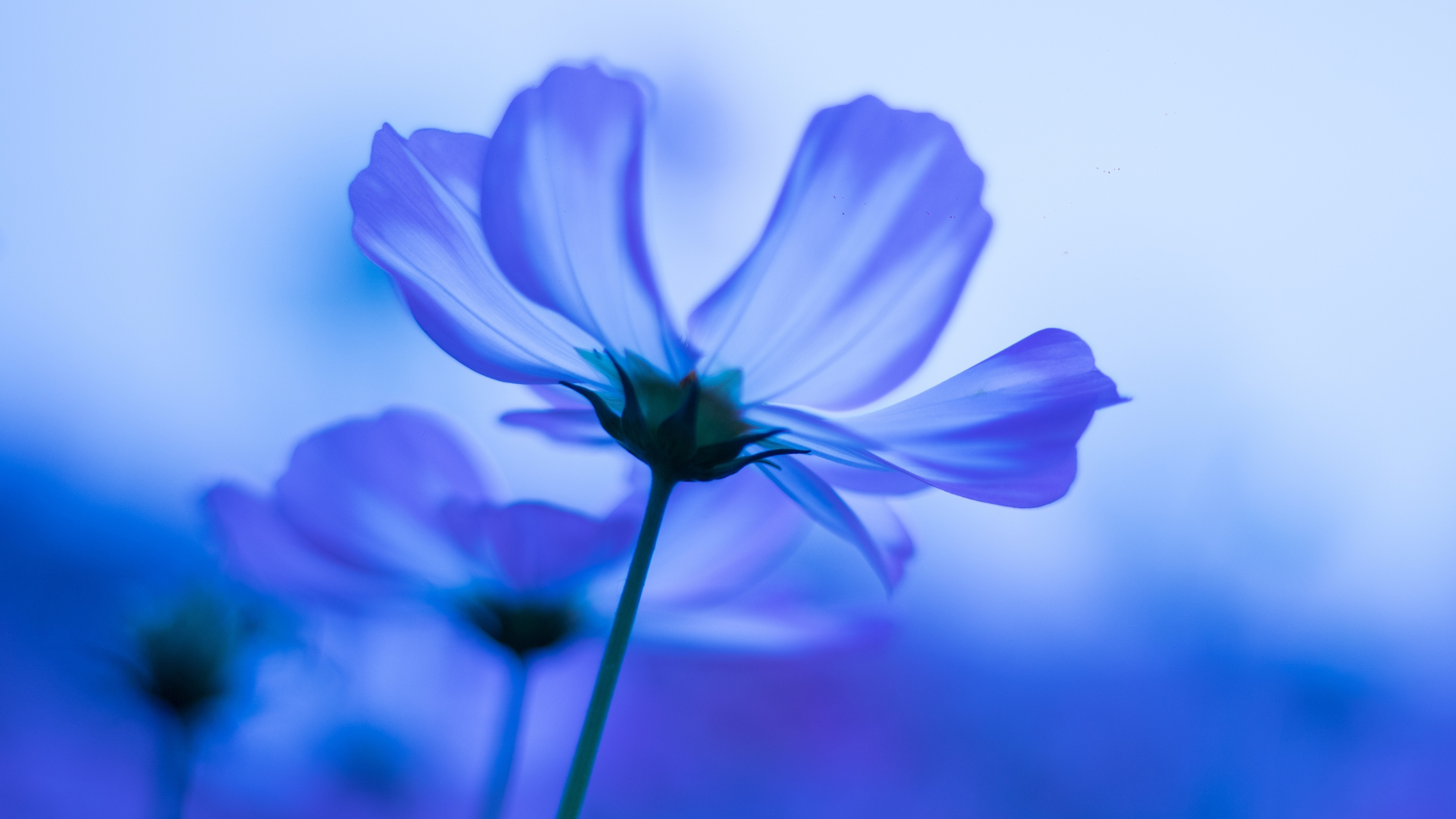 Wallpapers Samsung Galaxy Note 5 Ultra Hd 2160 3840 78: Download 3840x2160 Wallpaper Blue Flowers, Cosmos, Blur