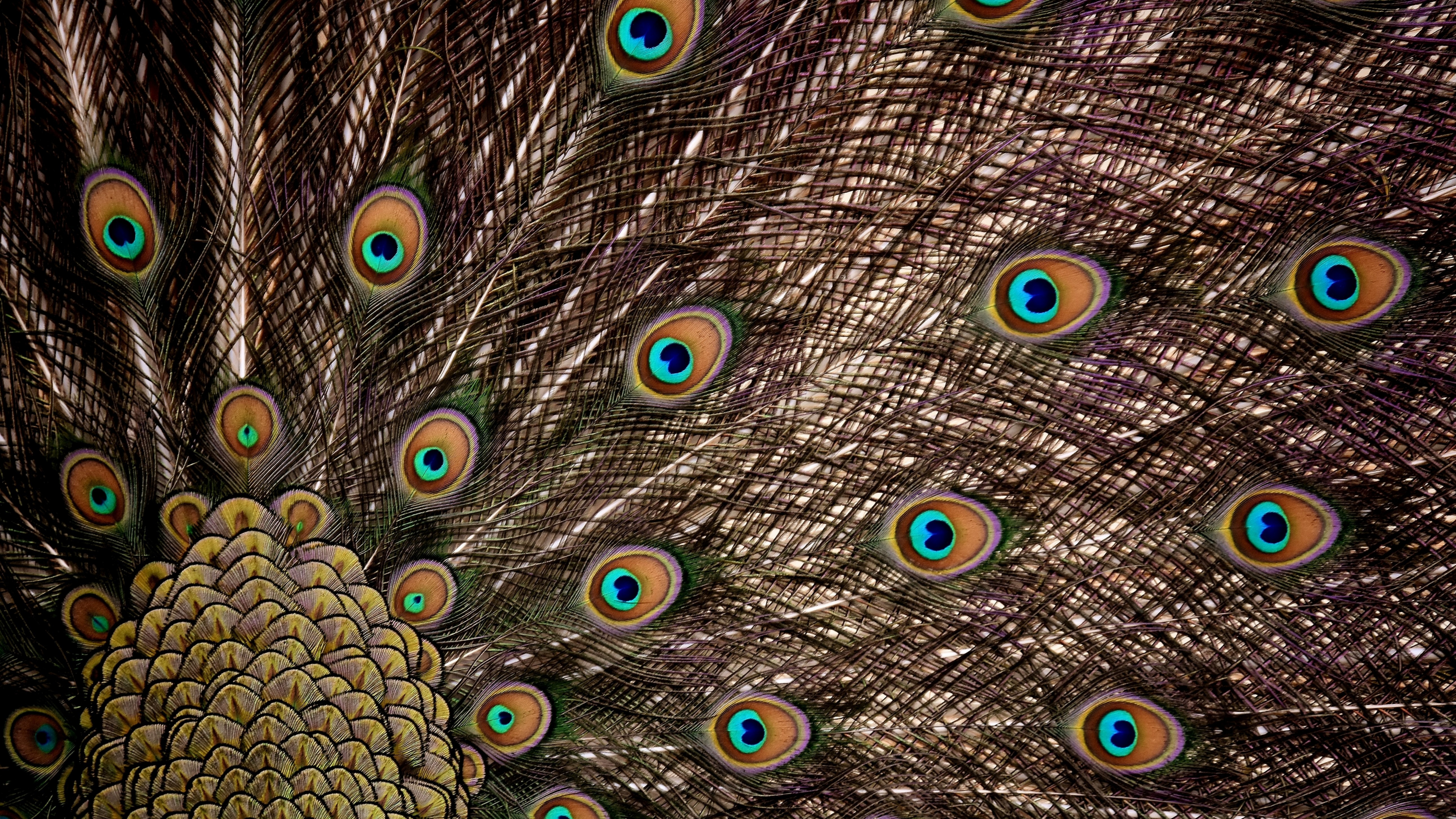 Download 3840x2160 Wallpaper Peacock, Feathers, Dance