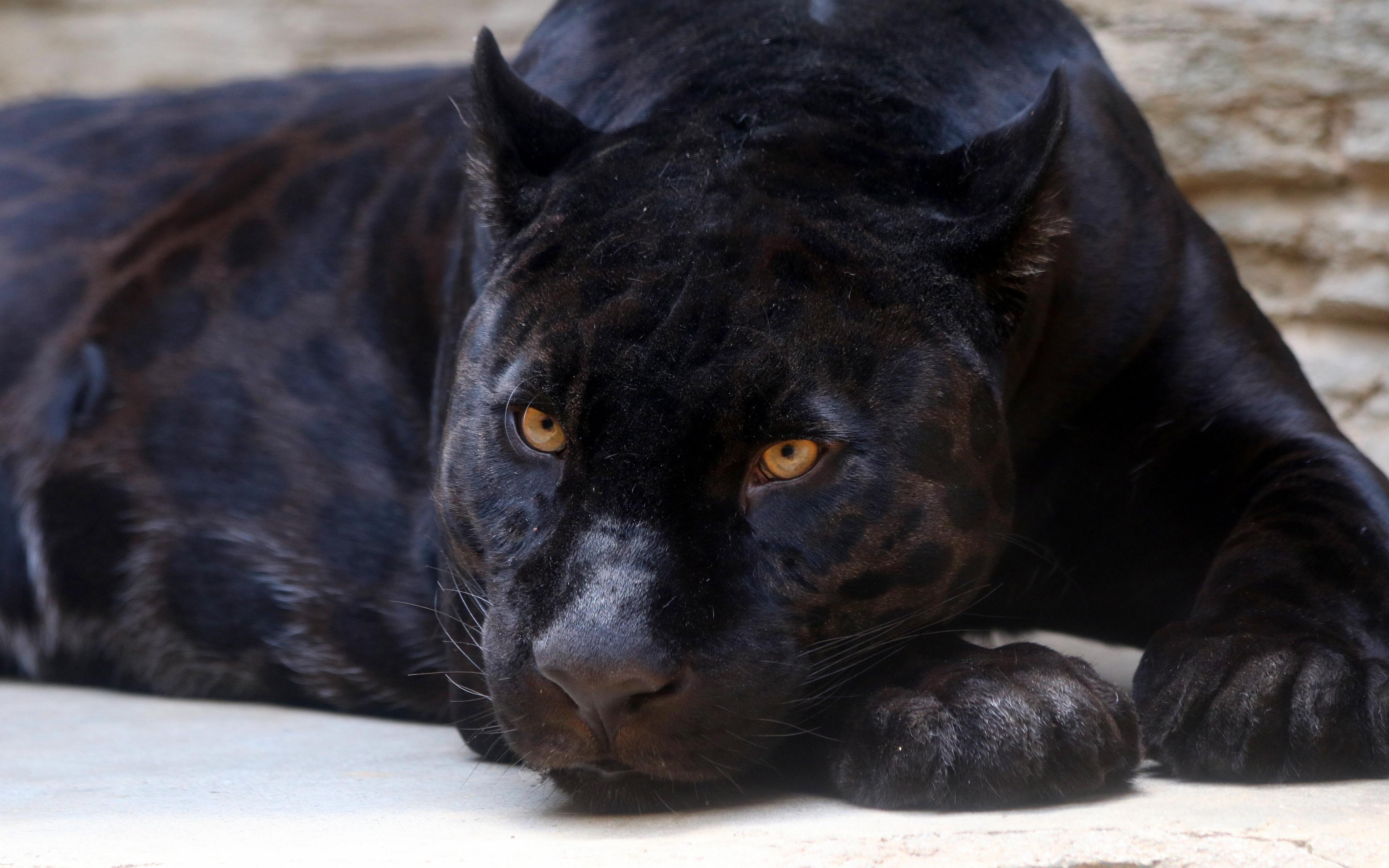 Download 3840x2400 Wallpaper Black Panther Predator Relaxed 4k