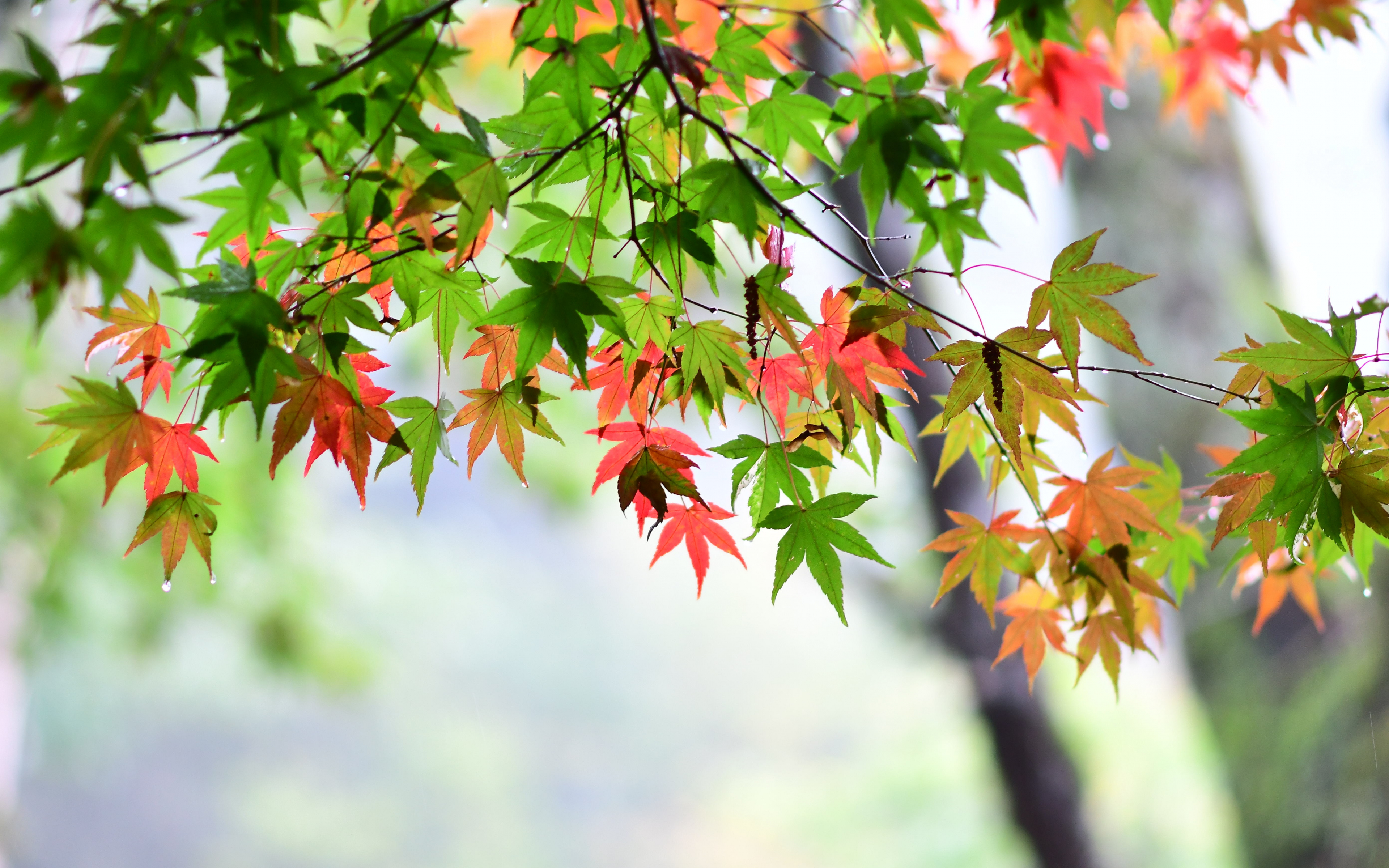 Download 3840x2400 Wallpaper Maple Leaf Leaves Spring 4k Ultra Hd 16 10 Widescreen 3840x2400 Hd Image Background 926