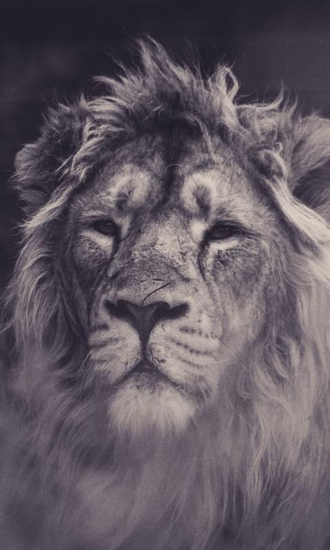 Lion, calm, predator, muzzle, 480x800 wallpaper