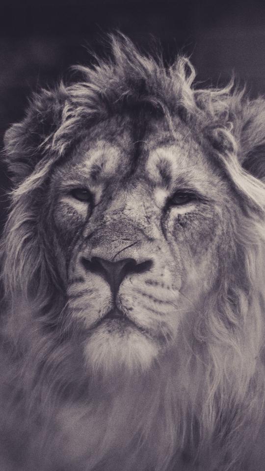 Lion, calm, predator, muzzle, 540x960 wallpaper