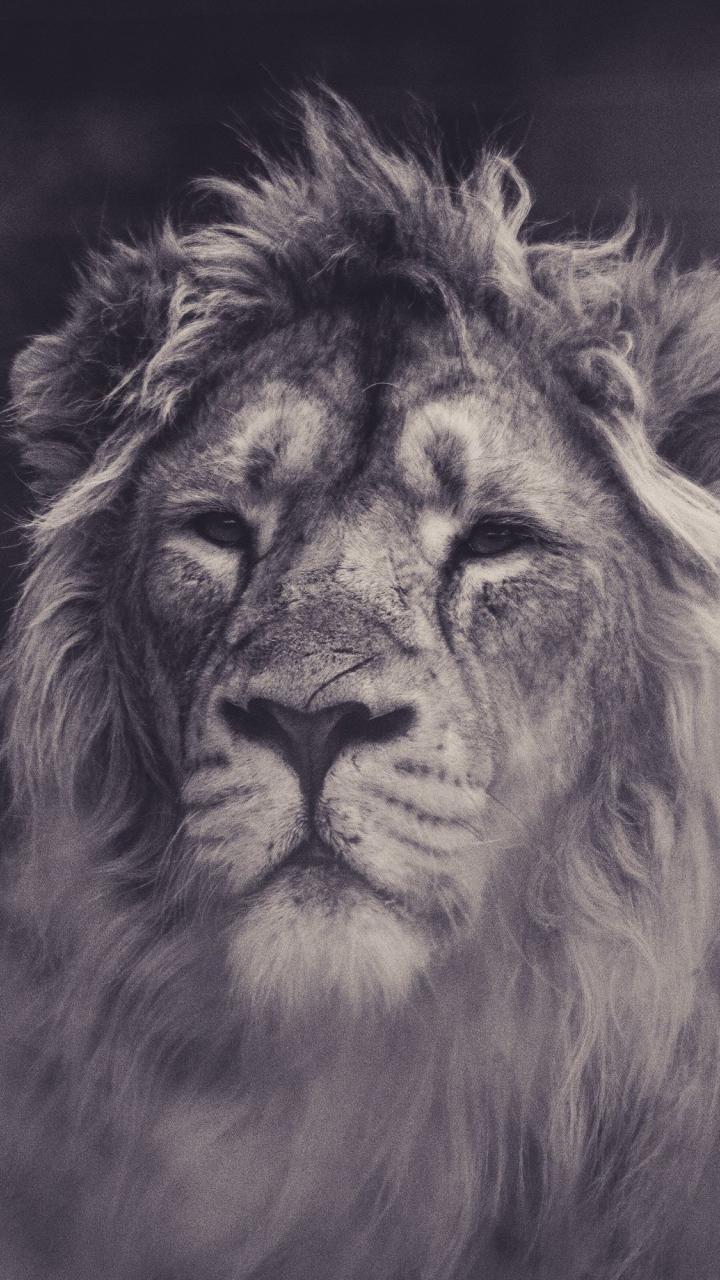 Lion, calm, predator, muzzle, 720x1280 wallpaper