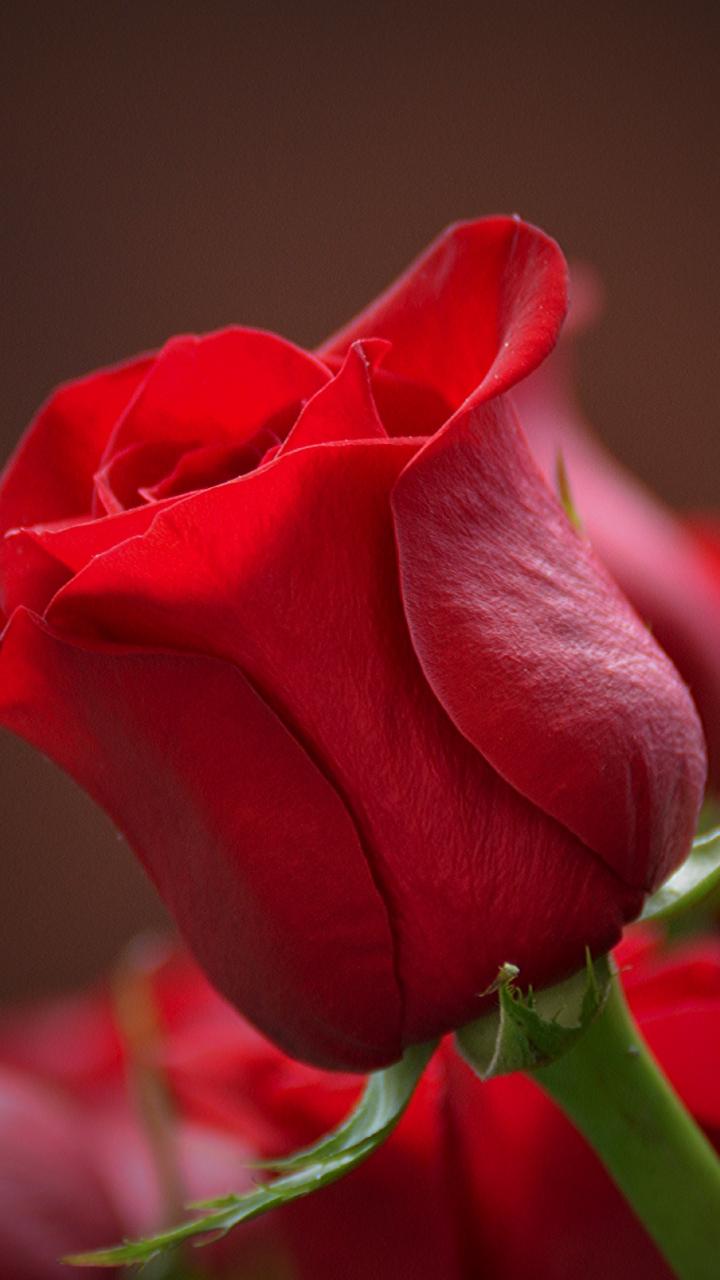 Download 720x1280 wallpaper bud rose red flower close - Samsung rose wallpaper ...