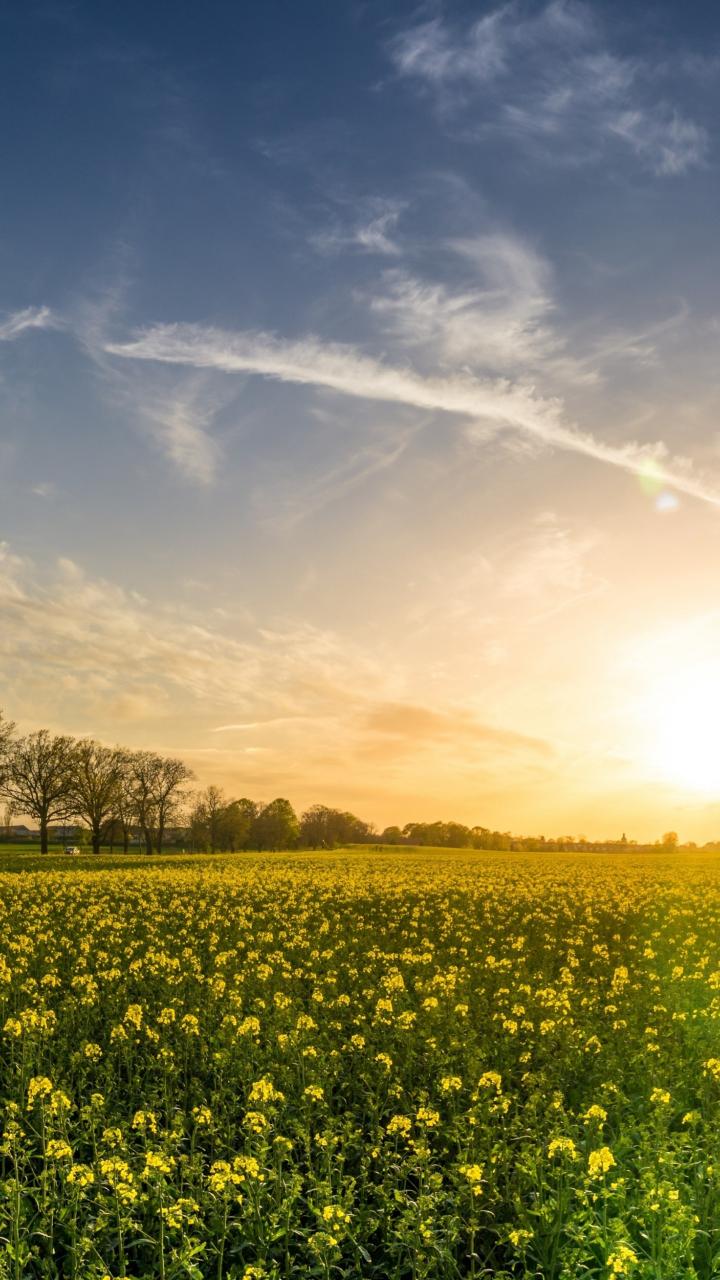Oilseed rape, farm, sunny day, sky, 5k, 720x1280 wallpaper