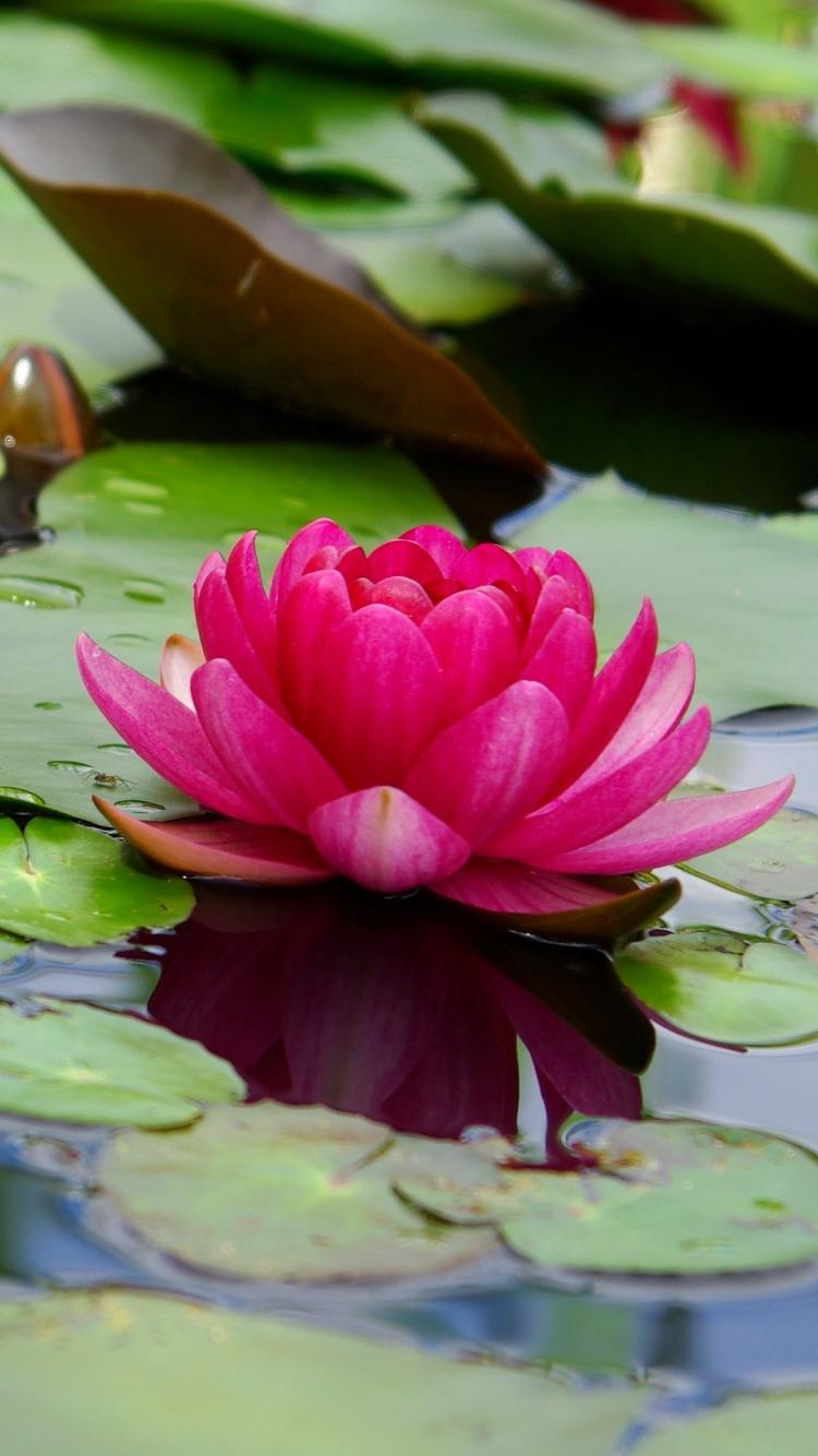 Wallpaper Iphone 7 Lotus Flower