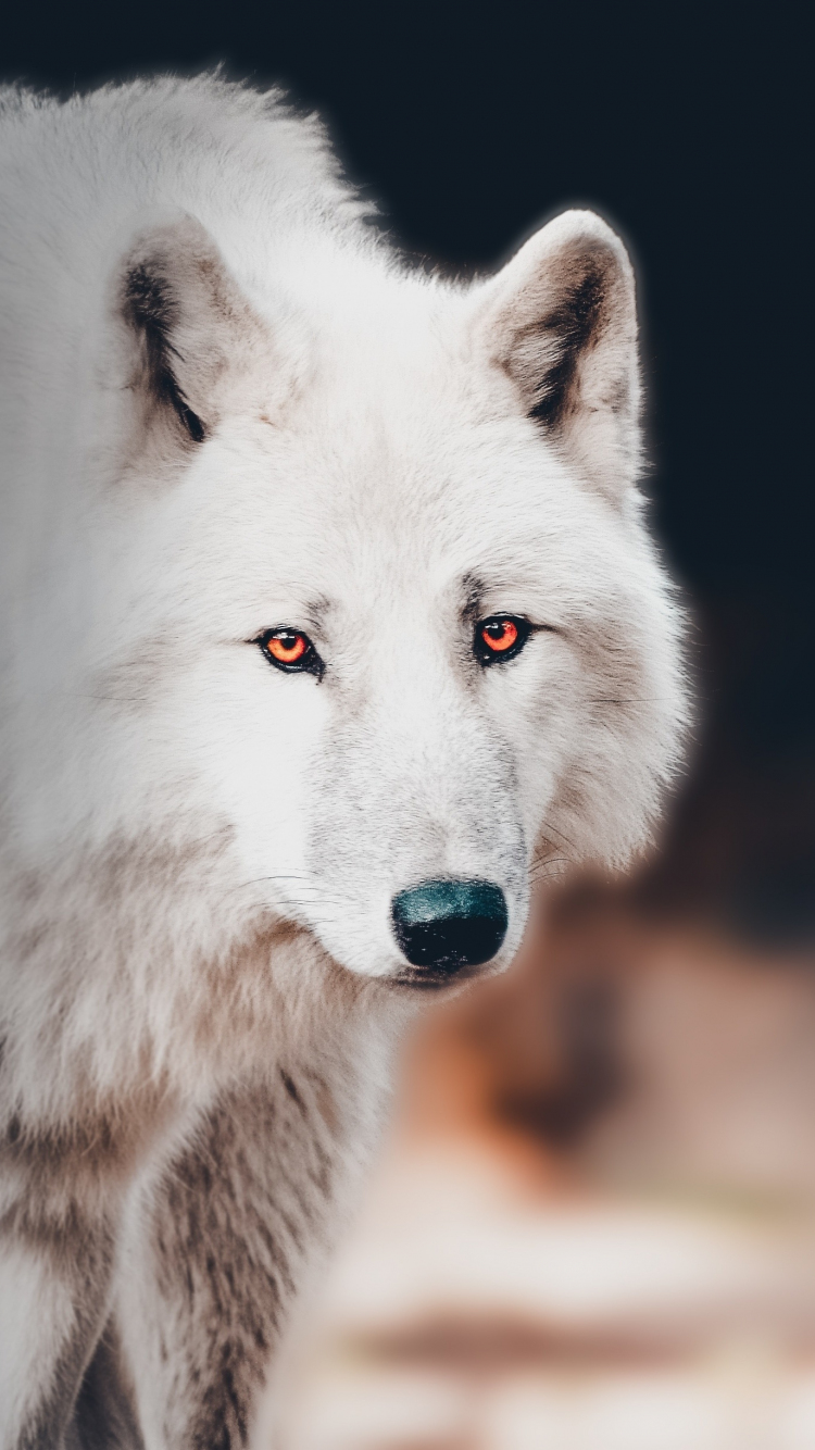 Download 750x1334 Wallpaper The White Wolf Portrait Iphone 7 Iphone 8 750x1334 Hd Image Background 21230
