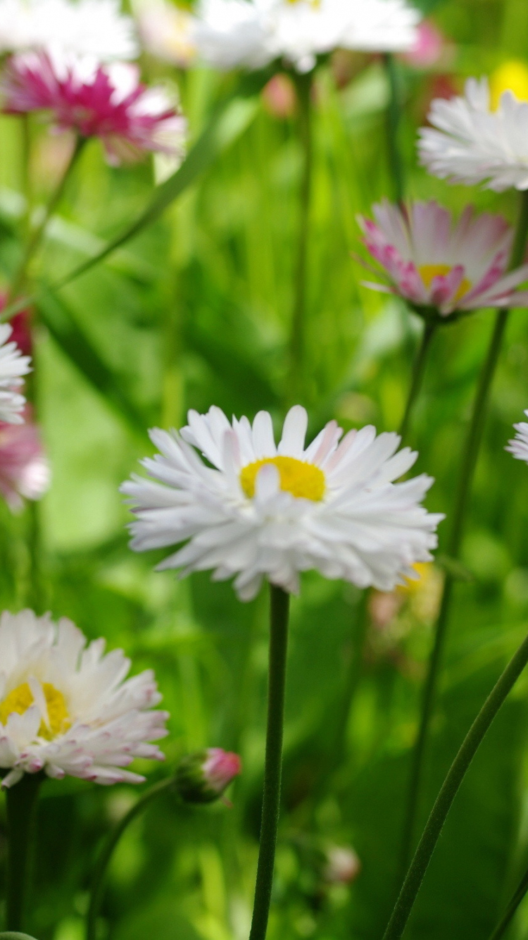 Download 750x1334 Wallpaper Meadow White Clover Flowers Plants