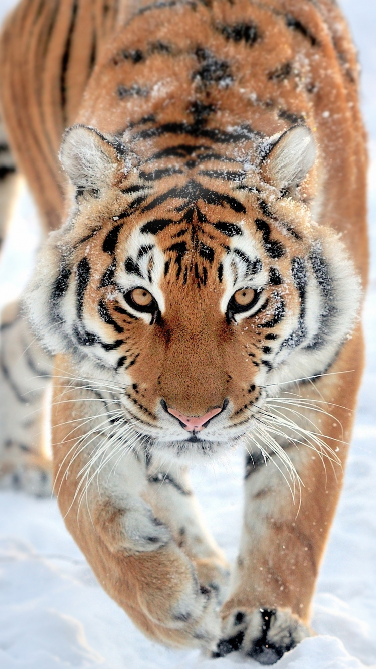Download 750x1334 Wallpaper Tiger Walk Predator Wildlife