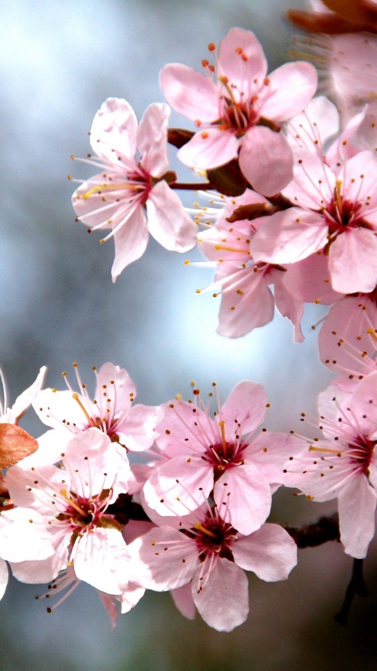 Download 750x1334 Wallpaper Tree Branch Cherry Tree Blossom