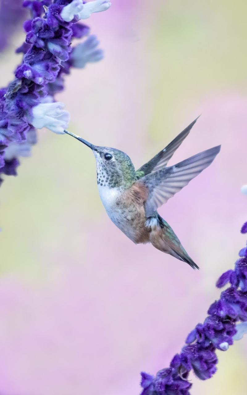 Download 800x1280 Wallpaper Flight Flowers Cute Hummingbird Samsung Galaxy Note Gt N7000 Meizu Mx 2 800x1280 Hd Image Background