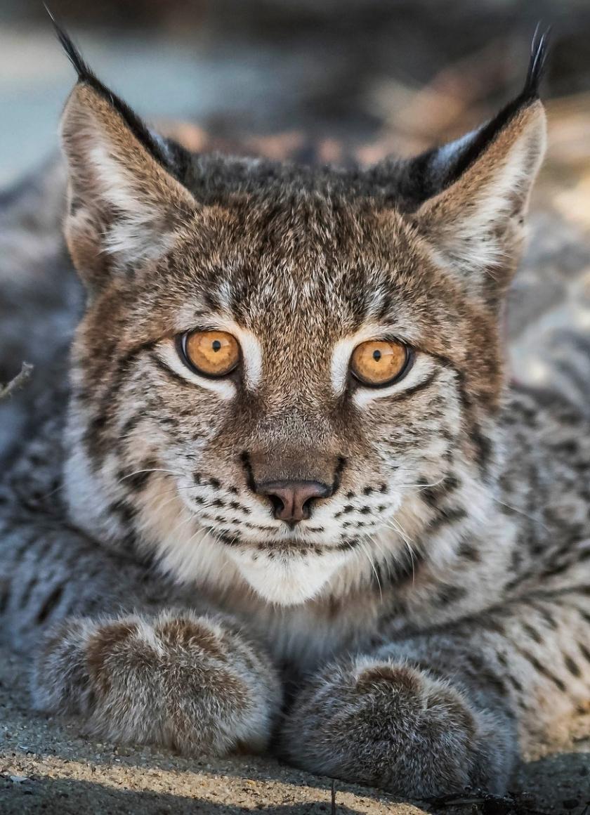 Close up, Lynx, cat, predator, muzzle, 840x1160 wallpaper