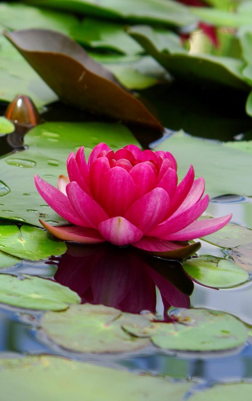 Download 840x1336 Wallpaper Lotus Flower Pink Leaf Lake Iphone