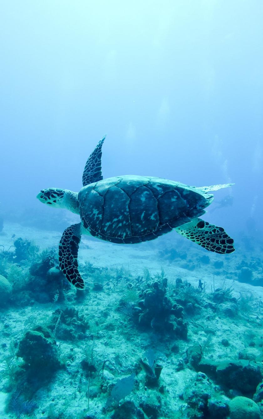 Download 840x1336 Wallpaper Underwater Animal Turtle Iphone 5