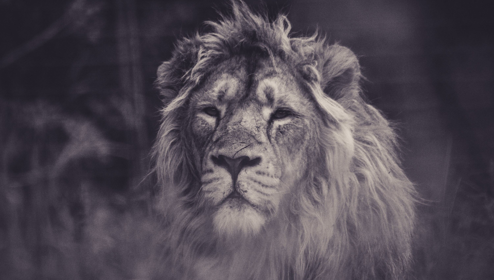 Lion, calm, predator, muzzle, 960x544 wallpaper