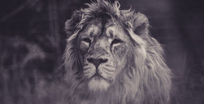 Lion, calm, predator, muzzle wallpaper