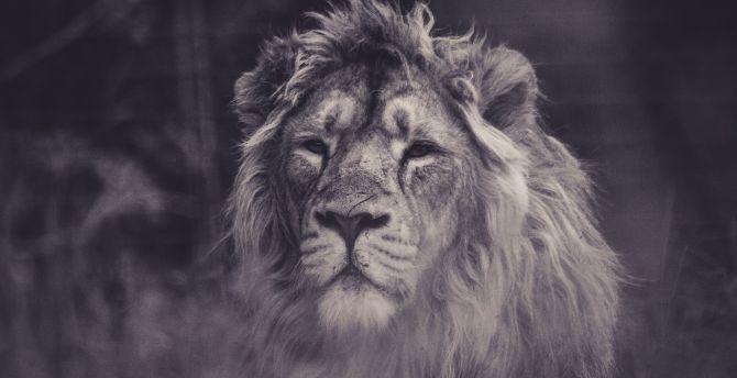Lion predator muzzle