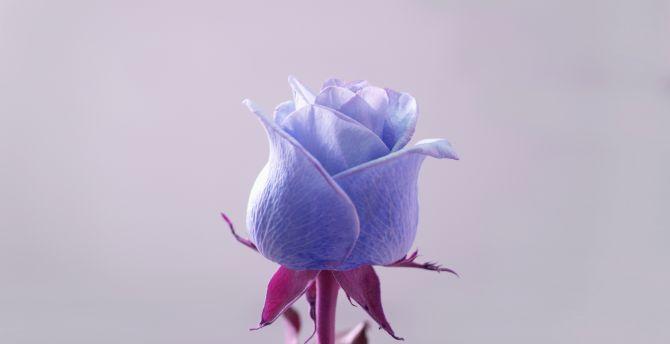 Blue rose, flower, bud wallpaper