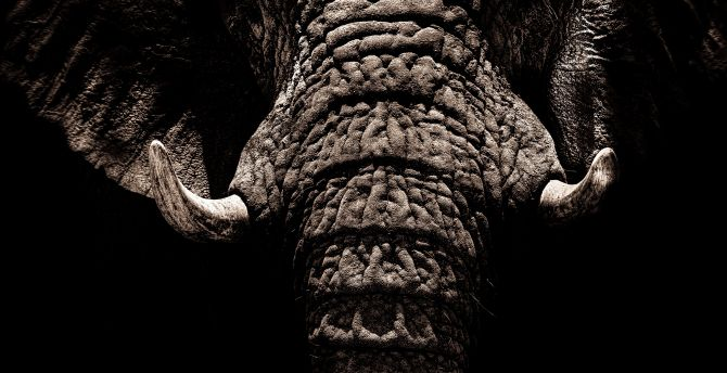 Elephant, big animal, muzzle, tusks wallpaper