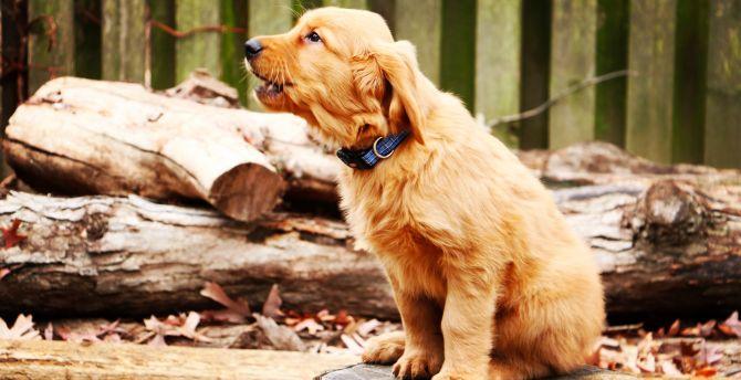Golden retriever, dog, puppy, barking, 4k wallpaper