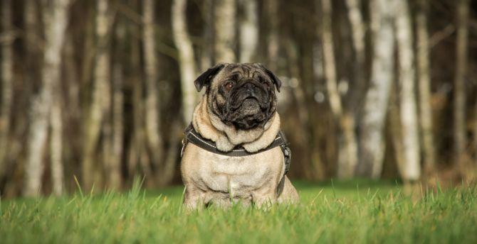 desktop wallpaper pug, dog, animal, outdoor, hd image, picture