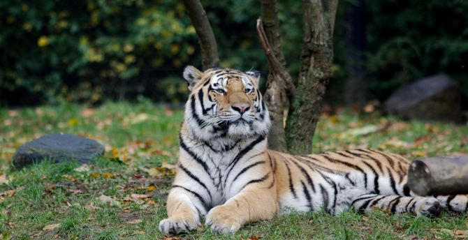 Relaxed sit predator tiger