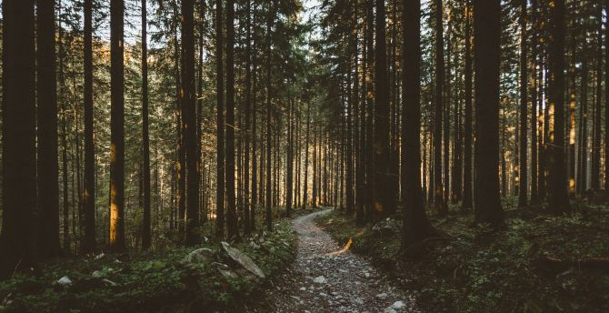 Sunbeams, morning, forest, pathway, nature wallpaper