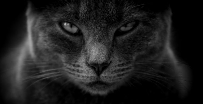 Cat, muzzle, confident, monochrome wallpaper