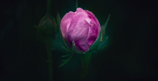 Bud Dark Pink Rose Wallpaper