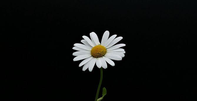 Desktop Wallpaper Portrait White Flower Minimal Daisy Hd