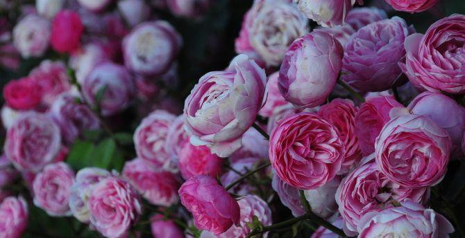 Pink roses, flowers wallpaper