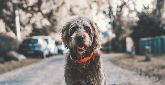 Dog, muzzle, red collar wallpaper