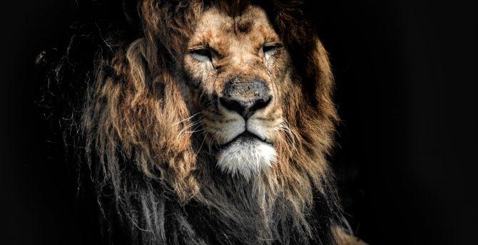 Aged lion, beast. predator, wild cat muzzle wallpaper