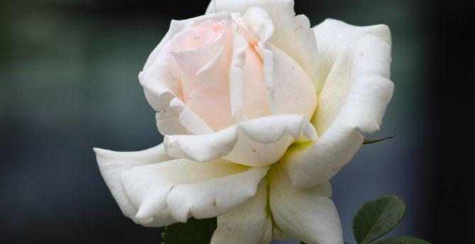 White rose, bloom, portrait wallpaper
